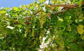 Grapes on vine Beit Jimal tb062807457 bibleplaces